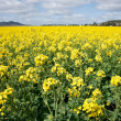 Canola in the farm field — Stock Photo #4964289