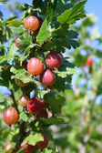 Red gooseberry — Stock Photo