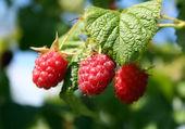 Red-ripe raspberry — Stock Photo