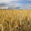 Wheat field golden and blue sky — Foto Stock