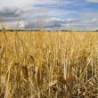 Wheat field golden and blue sky — Stockfoto