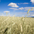 Wheat field golden and blue sky — Foto de Stock