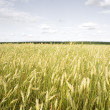 Wheat field golden and grey sky — Stock Photo