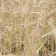 Stock Photo: Golden ears of wheat