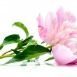 Pink peony on white — Stock Photo #5185101