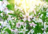 Blühende kirsche — Stockfoto