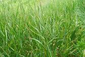 Green grass — Foto de Stock