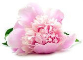Pink peony on white — Stock Photo