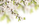 Flowers of cherry — Stock Photo