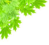 Hojas de un árbol de maple — Foto de Stock