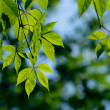 green leaves — Stock Photo #3953601