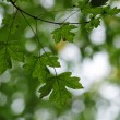 Green maple leaves - Photo