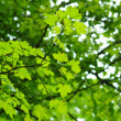 Green leaves — Stock Photo #4010174