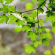 Green leaves — Stock Photo #4010175
