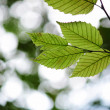 Green leaves — Stock Photo #4010183