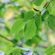 Green leaves — Stock Photo #4010193