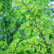 Green leaves — Stock Photo #4010197