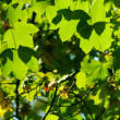 Green leaves — Stock Photo #4011635