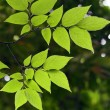 Green leaves — Stock Photo #4011661