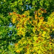 Green maple leaves — Stockfoto