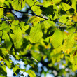 Green leaves — Stock Photo #4053588