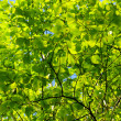 Green leaves — Foto Stock #4053812