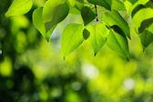 Green leaves — Foto de Stock