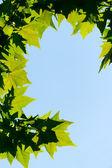 Foglie di acero verde — Foto Stock