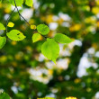 Stock Photo: Green leaves