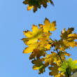 Autumn, maple leaves - Stock Photo