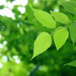 Green leaves — Stock Photo #4154046