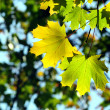 Autumn, maple leaves — Stock Photo