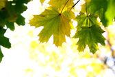 Autumn, maple leaves — Stock Photo