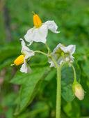 Potato blooming. — Stock Photo