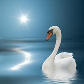 White swan and sunlight. — Stock Photo