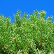 Branchis of the pine tree. — Stock Photo