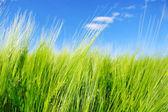 Pole pszenicy zielony. — Zdjęcie stockowe