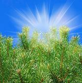 Pine-tree and sun. — Stock Photo