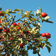 Healing autumnal dog-rose red fruits — Stock Photo