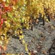 Autumn vineyard in Crimea,Ukraine — Stock Photo