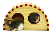 Rat — Photo