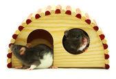 Rat — Foto de Stock