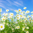 White daisies — Stock Photo #4219753
