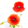 Poppies isolated on white — Stock Photo #4219787