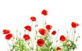 Red poppies on white — Stock Photo