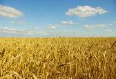 Golden wheat — Stockfoto
