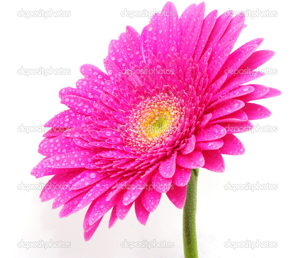Close up of a beautiful gerbera flower — Stock Photo #4256184