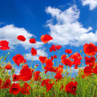 Red poppies - Stockfoto