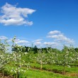 Blossom apple trees - Stockfoto