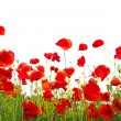 Red poppies  on white - Stock Photo